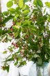 画像2: 季節の枝物 ジューンベリー (2)